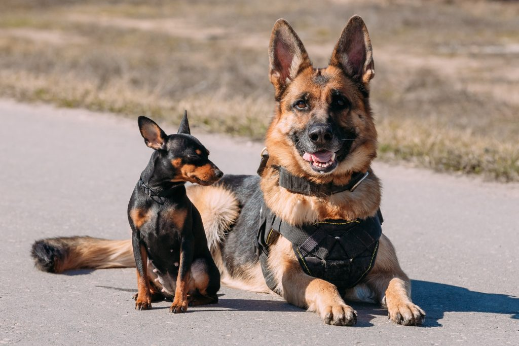 Brown German Sheepdog Alsatian Wolf Dog Sitting On Road In Sunny