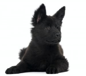 German Shepherd Dog puppy, 10 weeks old, lying in front of white background