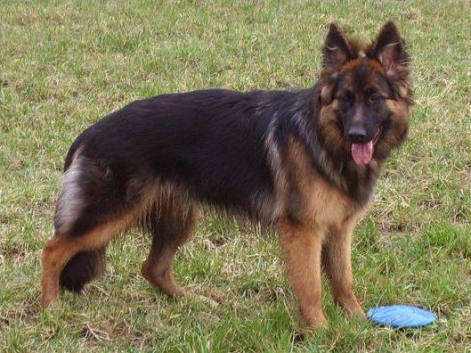 leiben-german-shepherd