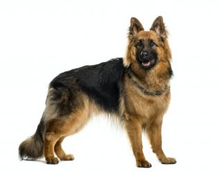 German shepherd in front of white background