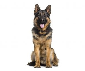 trained-adult-german-shepherd